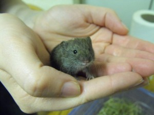 george the vole